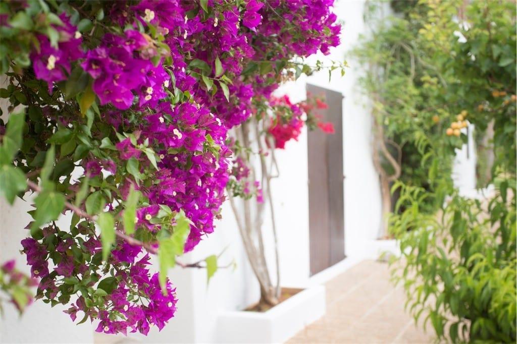 Stunning bougainvillea growing at Villa Nieves