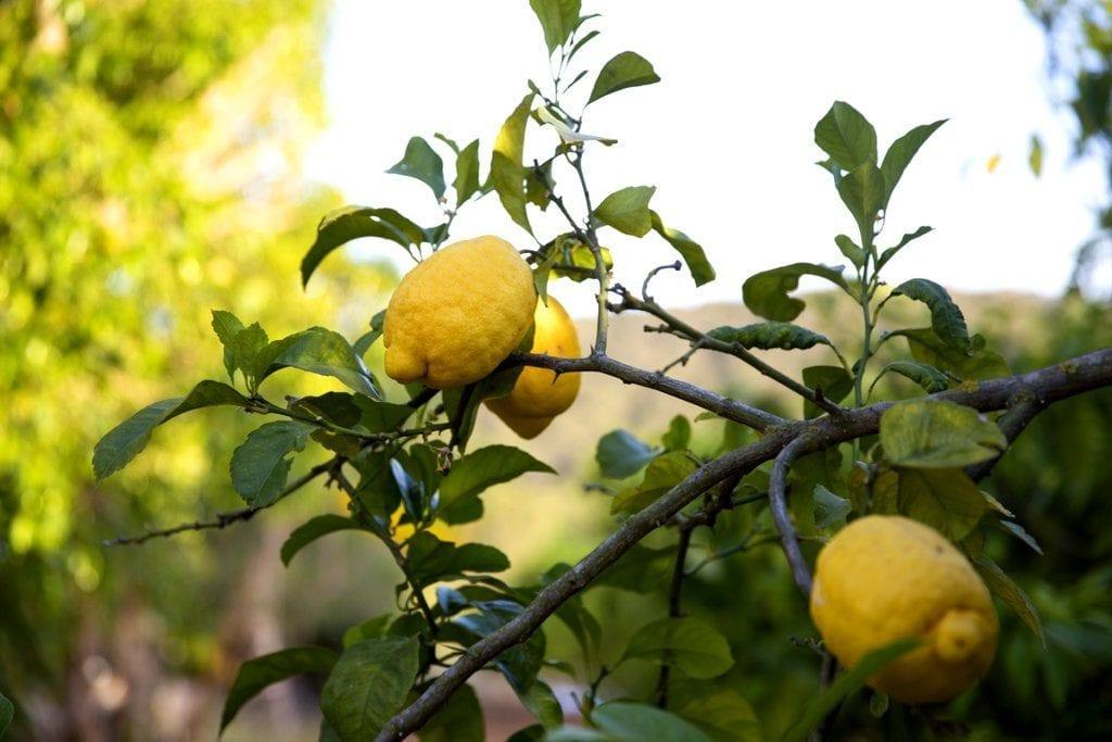 Lemon Tree in garden at Villa Louisa