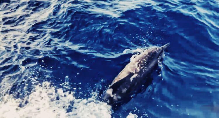Bandos dolphin