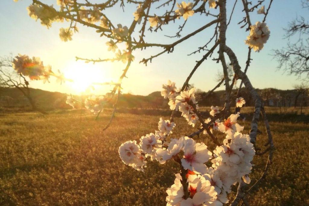February in Ibiza almond blossom